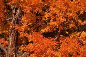 Autumn Maple Blaze