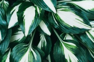 Fire & Ice Hosta